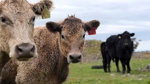 Giới thiệu về thịt bò Úc