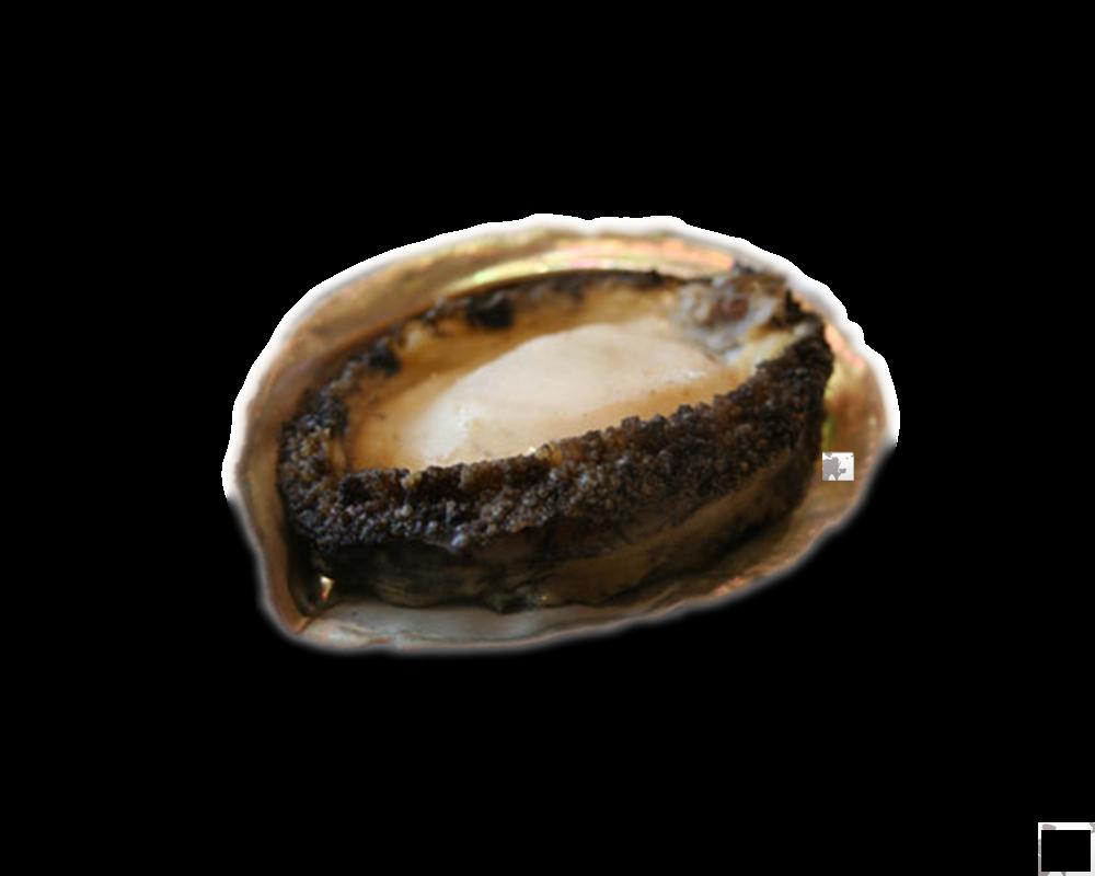 Bào ngư Nhật( ăn gỏi)-Abalone Sashimi