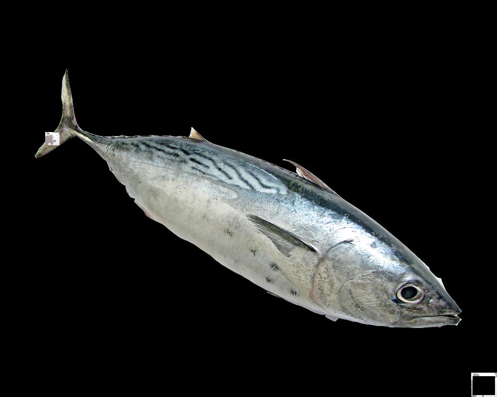Cá ngừ tươi nguyên con